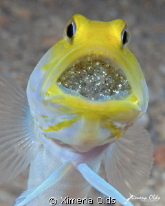 Yellow head Jawfish with Eggs. Roatan-Honduras by Ximena Olds 
